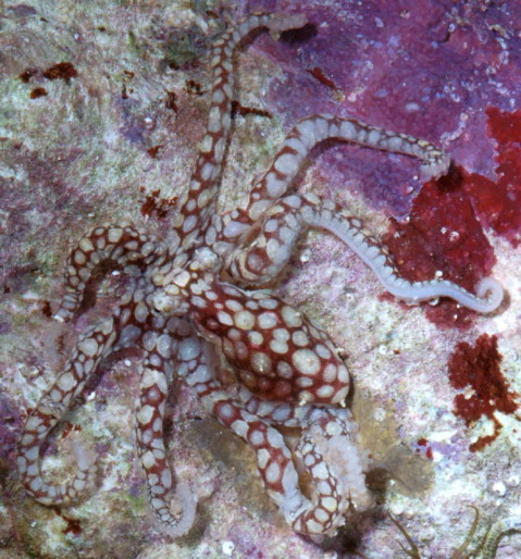 Octopus Abaculus